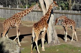 Domenica 18 la Giornata Internazionale della giraffa