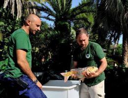 Vandalismo a Villa Celimontana: salvate 7 carpe, alcune rare