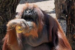 Al Bioparco un weekend per scoprire la vita dell'orango