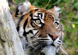 Domenica 29 luglio giornata internazionale della tigre