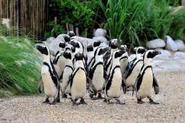 Bioparco per la biodiversità: ecco i pinguini del Capo